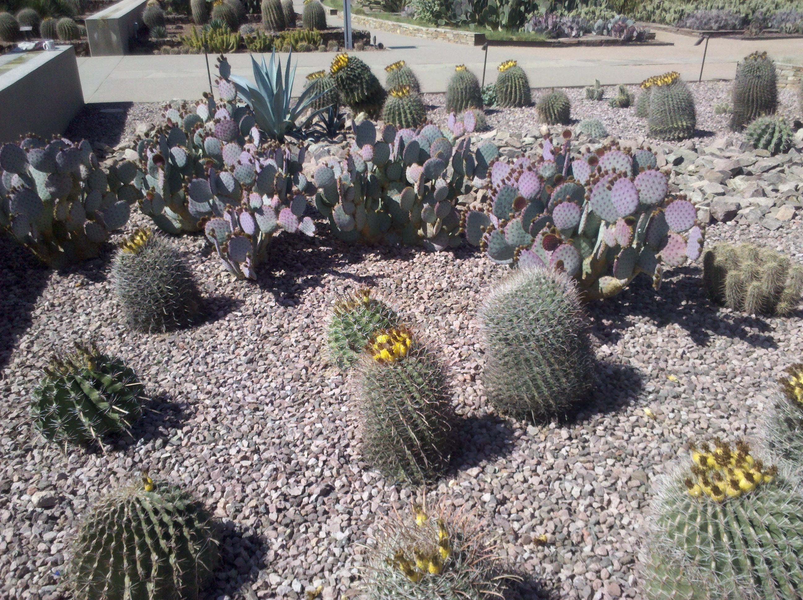 Barrel Cactus And Prickly Pear Cactus At Desert Botanical Gardens, Phoenix,  AZ