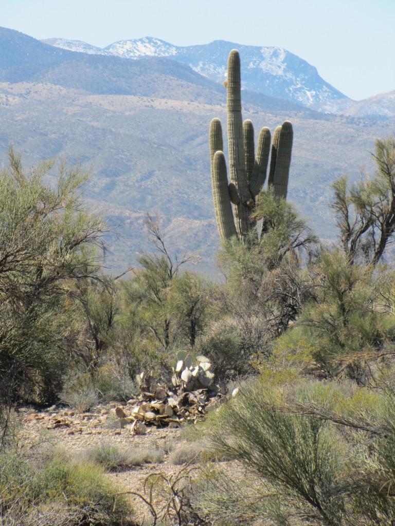 One of the last saguaro cactus plants I saw