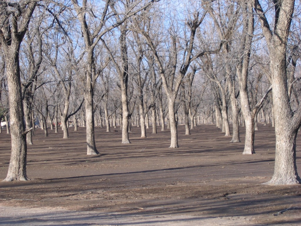 Miles and miles of Pecan orchards lead the way into Las Cruces.