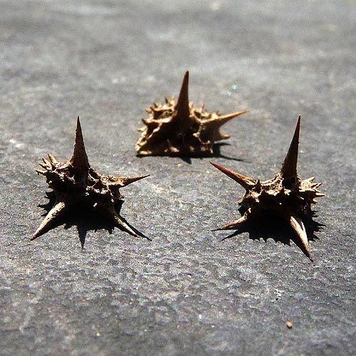 Goat head thorns.