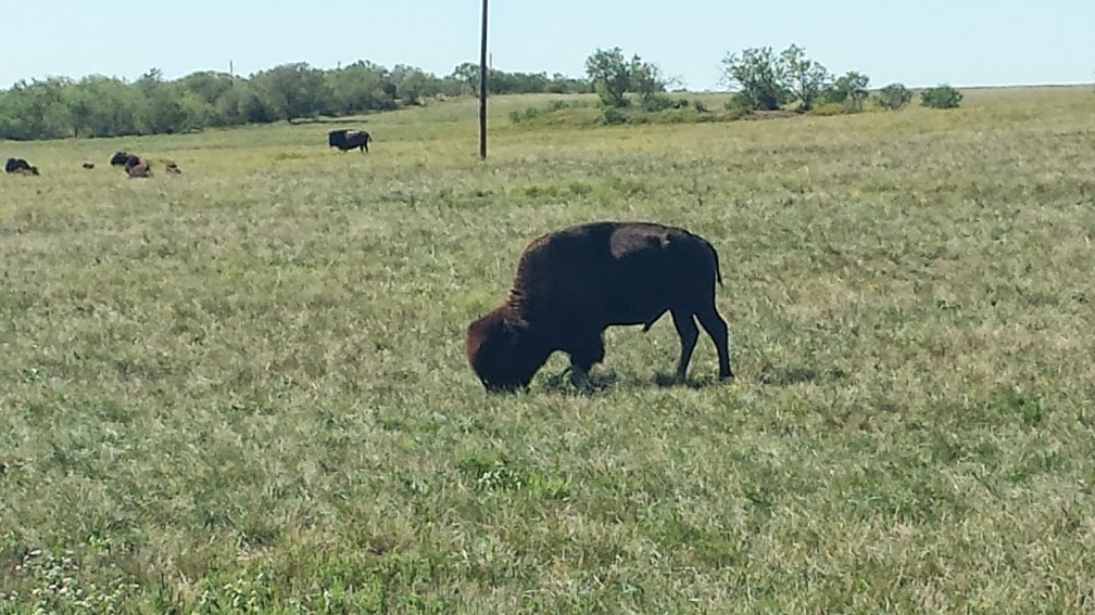 You just don't expect to see buffalo grazing in a grassy field, at least if you're from PA.