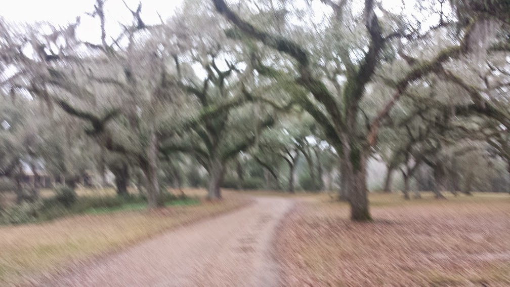 Photo of Live Oaks with their Spanish Moss on grounds of Butler Greenwood Plantation B&B.  Sorry it's a bit blurry ....